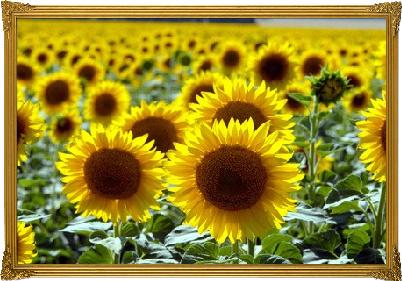 Sonnenblumen-Feld / Bild Copyright: © Victor Pogontsev - Fotolia.com