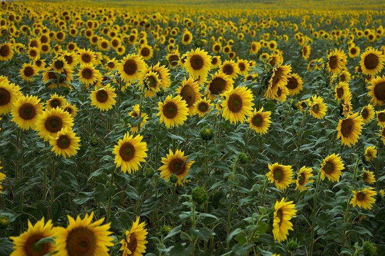 Sonnenblumen Labyrinthe in Deutschland